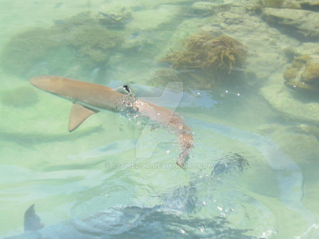 Reef Shark by safirediaz