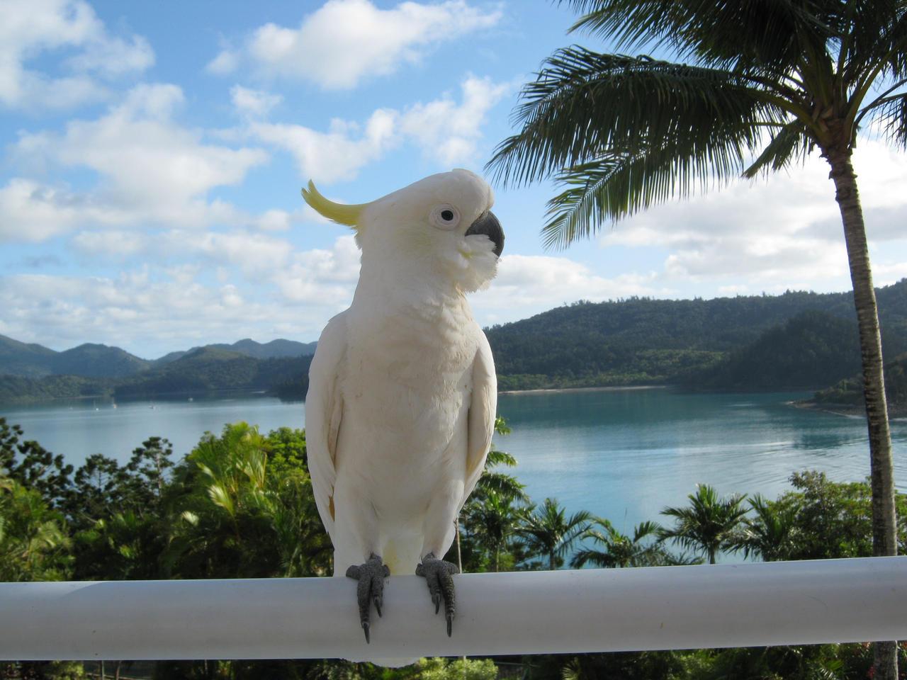 Proud Cockatoo by safirediaz