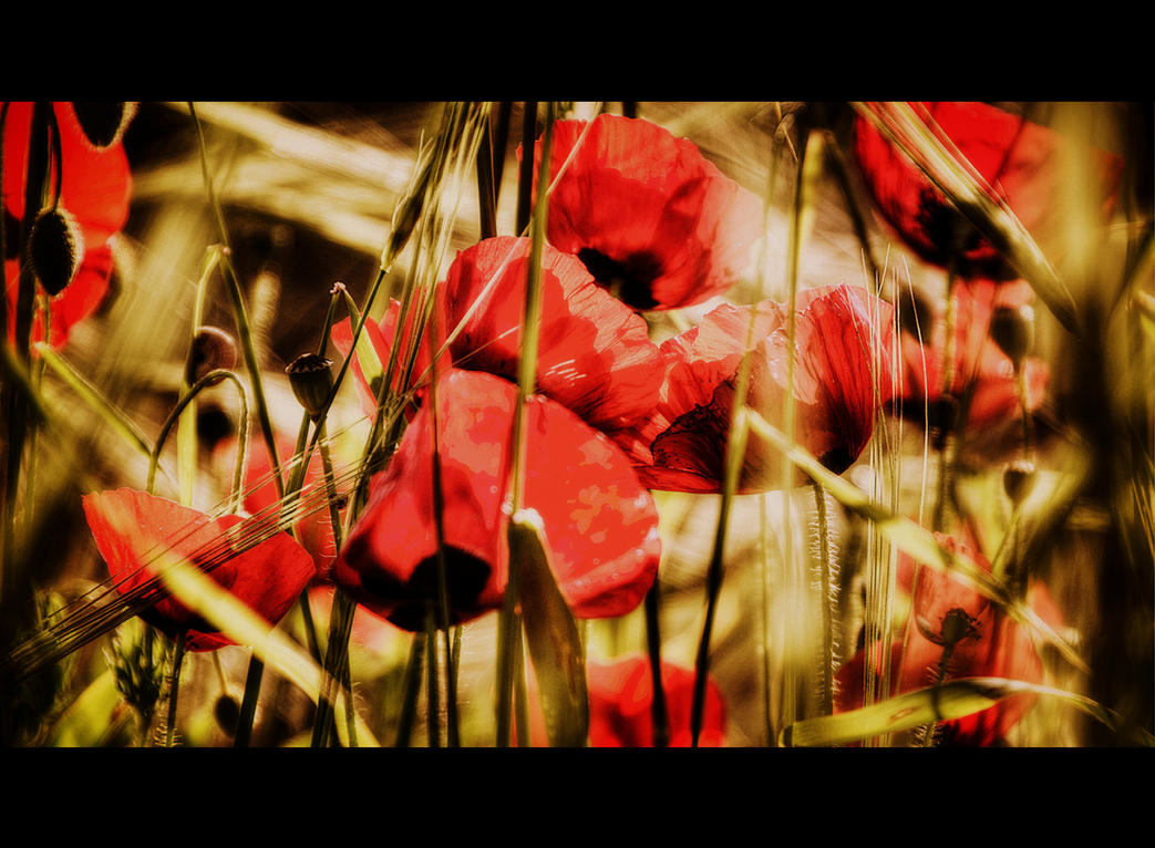 POPPIES by mecengineer