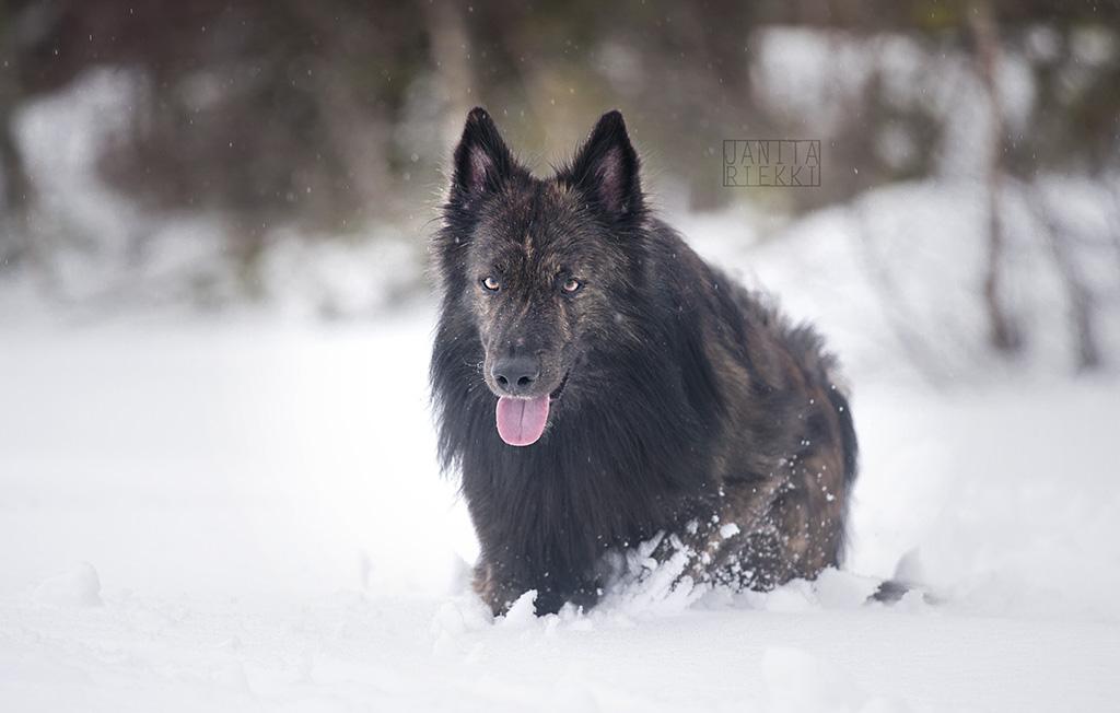 Wolf by Janaita