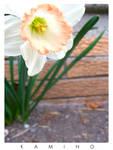 White and Peach 2 by kamino