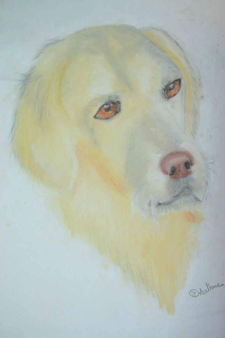 My second soft pastel work (Labrador) by Wolfwoman24