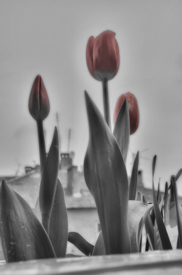 tulipa sky rocket 0024 (13B) by MAKRADA