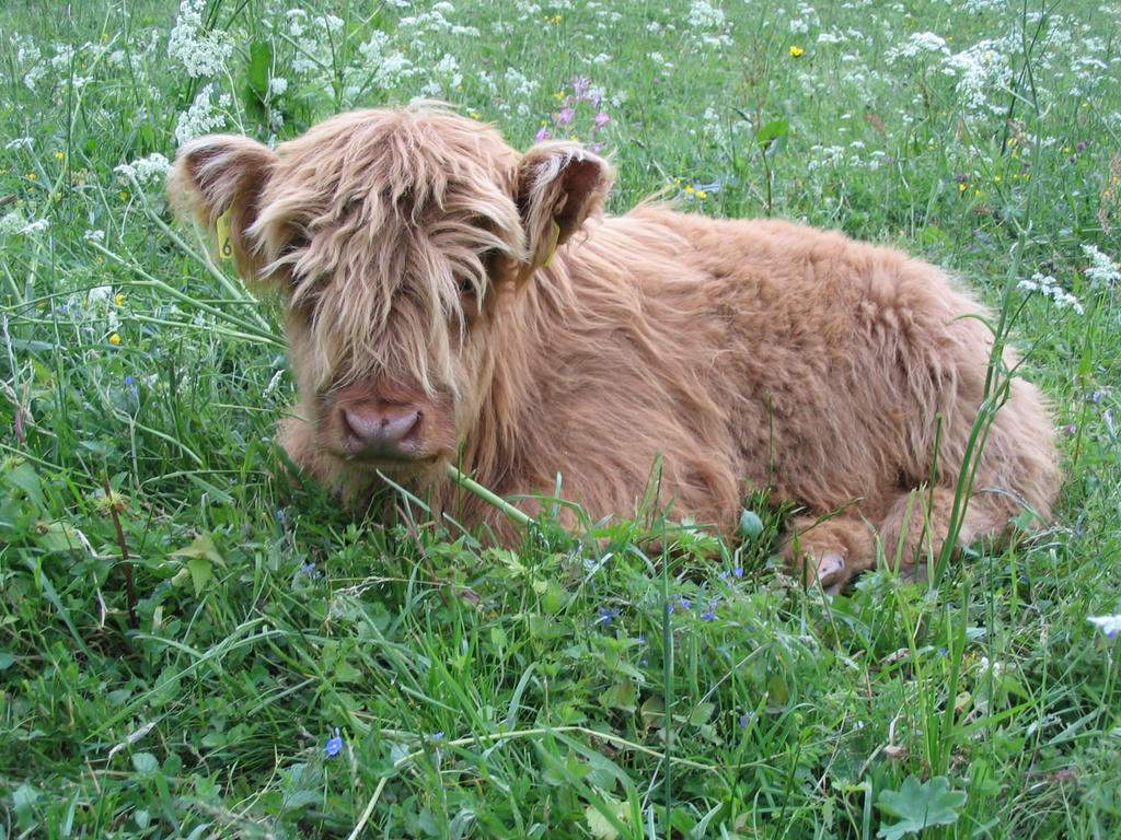 Highland cattle calf by BaalSoulslayer