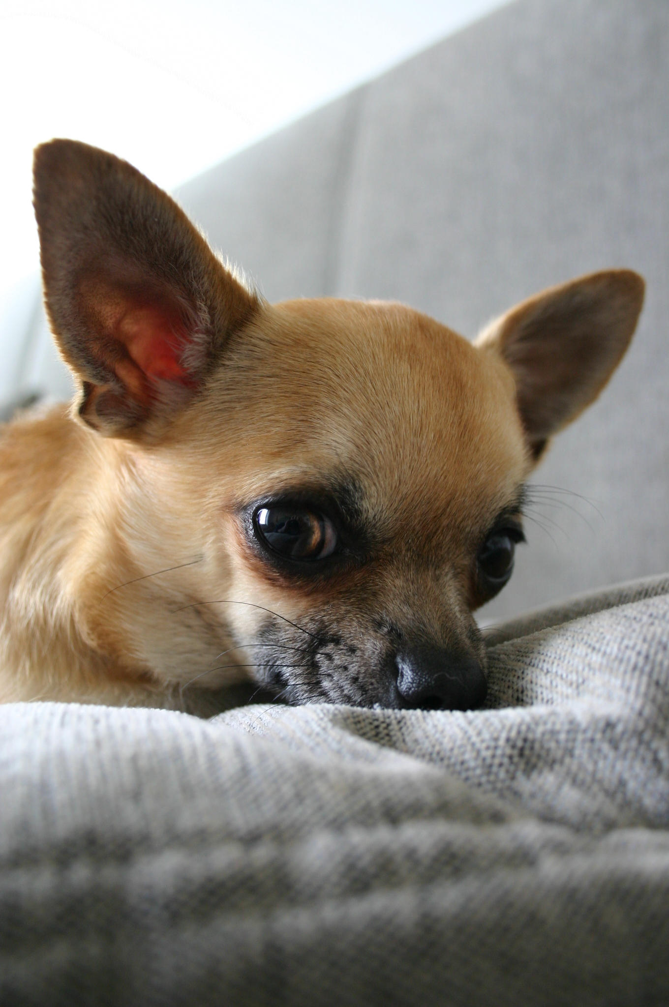 Chihuahua by Chine