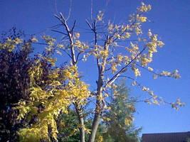 Saffron tree by Blakey-mads