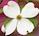 Dogwood flower 2 by marshwood