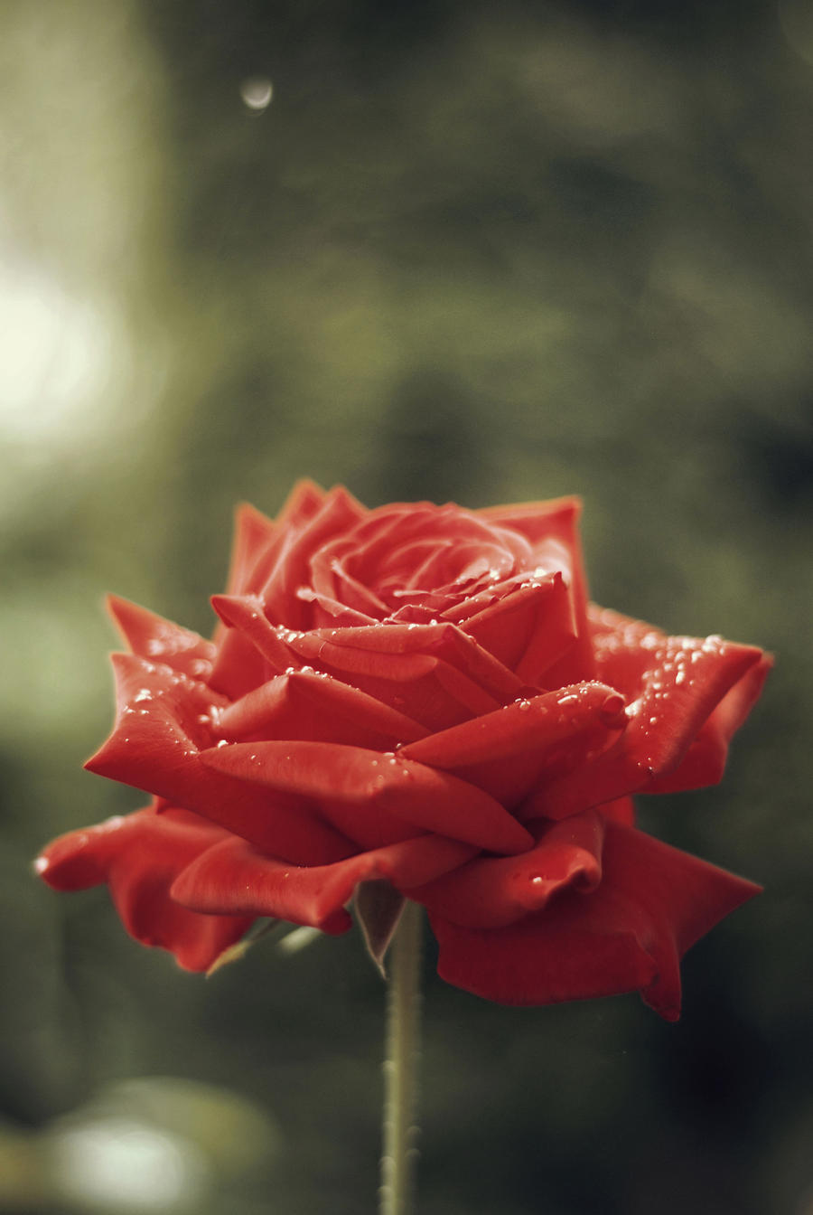 The last rose of summer by BlueColoursOfNature
