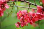 Sweet red Spring