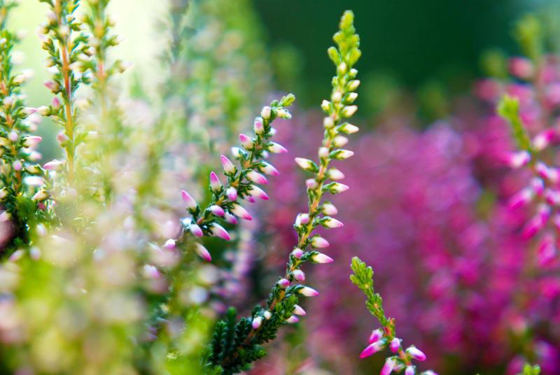Little pretty heather by BlueColoursOfNature