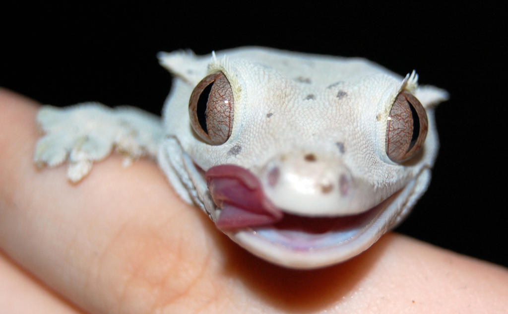 Crested Gecko Baby Food Flavors