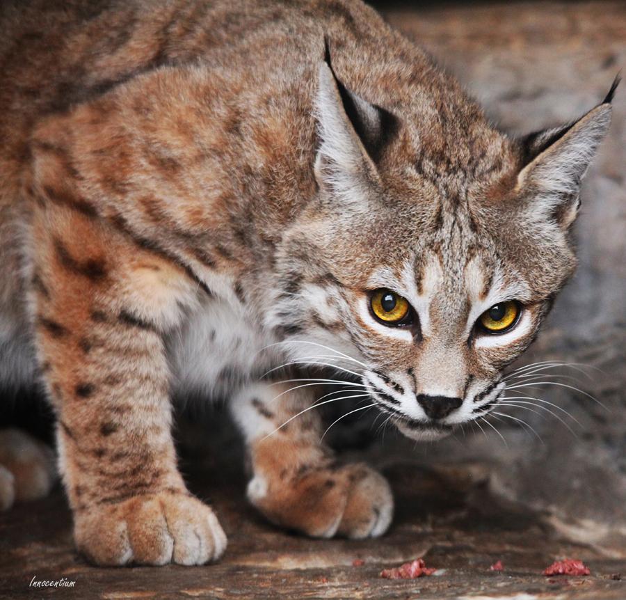 Voracious Bobcat by Innocentium