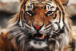 Disgruntled Tiger