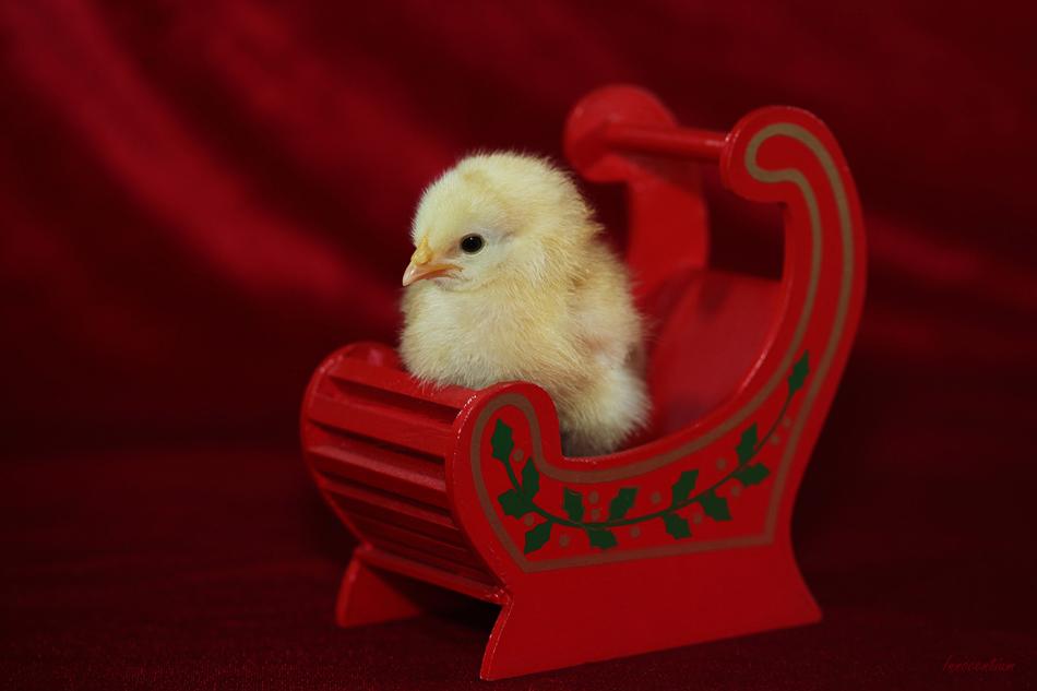 http://orig10.deviantart.net/06a8/f/2015/358/6/1/sleigh_chick_by_innocentium-d9l9n45.jpg