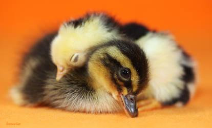 Duckling Bed by Innocentium