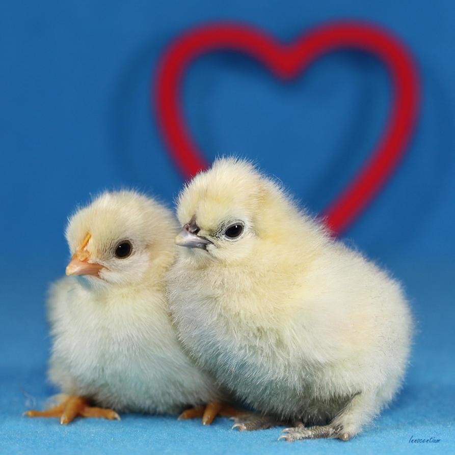 Valentine Chickies by Innocentium