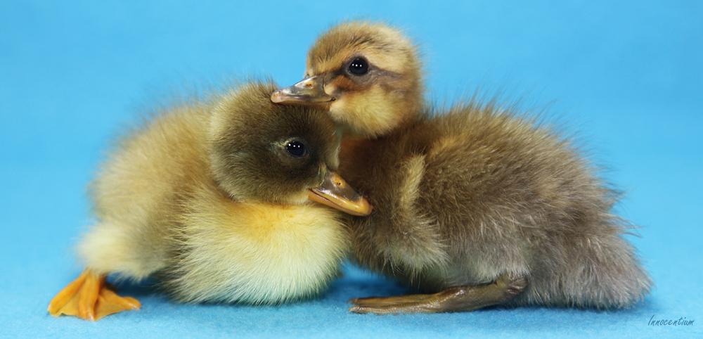 Duckling Bond by Innocentium
