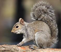 Squirrel Portrait by Innocentium