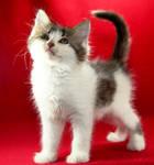 Appa the Kitten