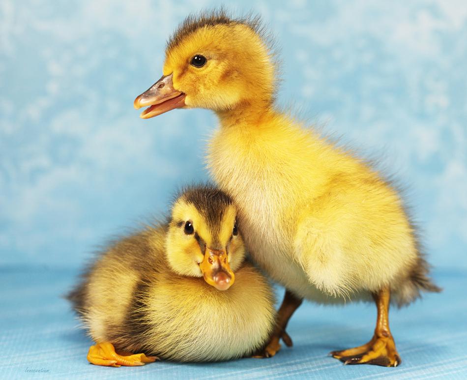 Duckling Pals by Innocentium