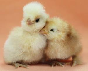 Cuddling Chickies by Innocentium