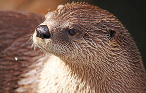 Otter Portrait by Innocentium