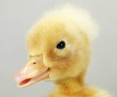 A Duckling Portrait