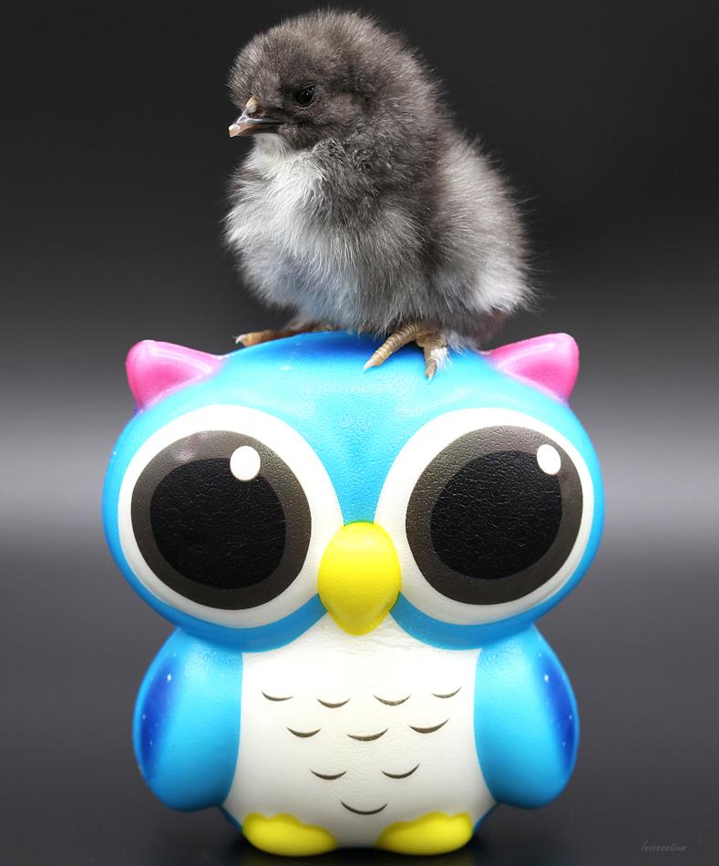 Chickie owl