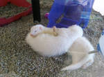 Cuddling Albino Ferrets