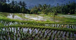 Bali - Risaia - 3 by morden