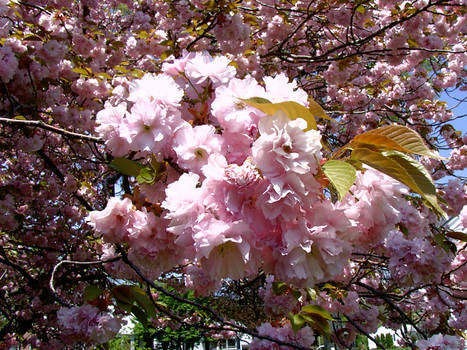 Pink Sakura
