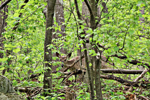 Invisible deer on Skyline Drive