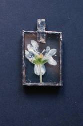 No. 19 - Cerastium tomentosum by Jerzynka