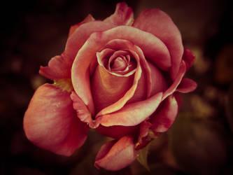 Ancient Rose by StevenLeonCooper