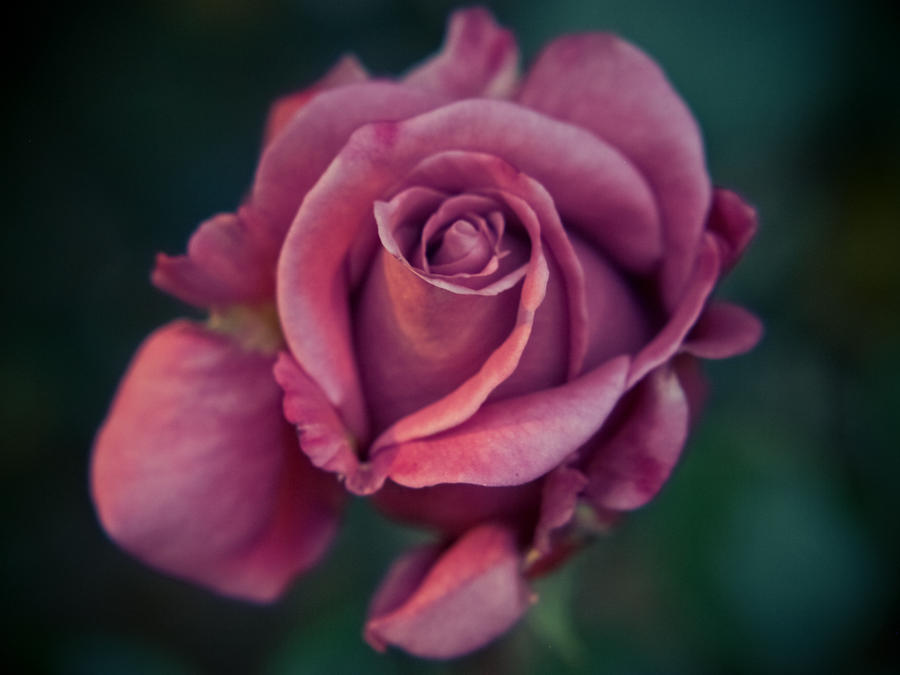 Focus Rose by StevenLeonCooper