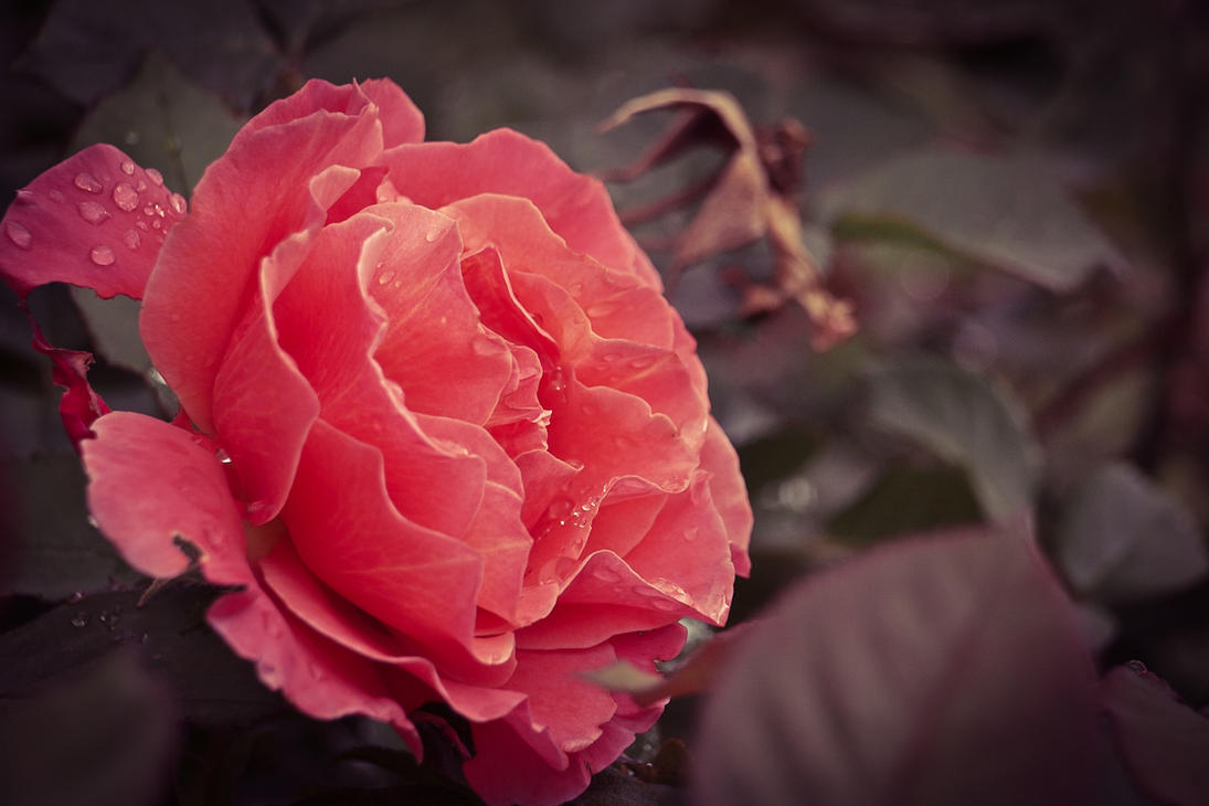 Easter Rose - Pink Beauty by StevenLeonCooper