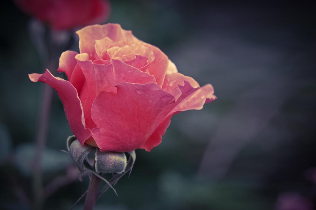 Easter Rose - Pink Bloom by StevenLeonCooper