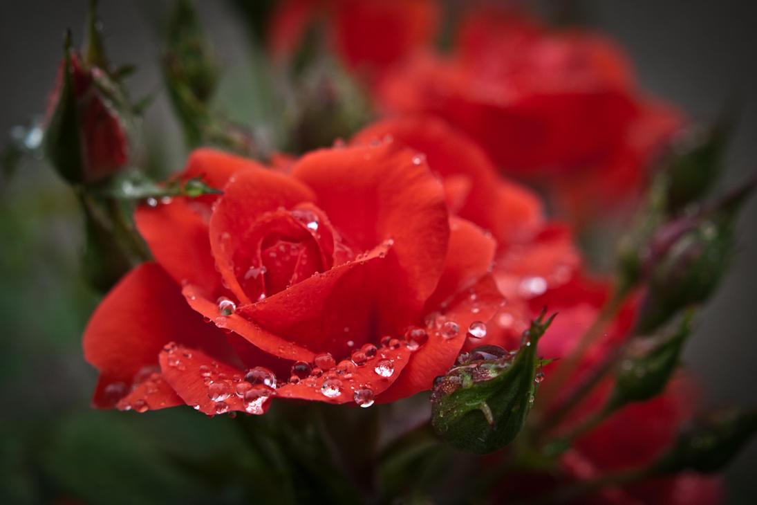 Orange Dew Rose by StevenLeonCooper