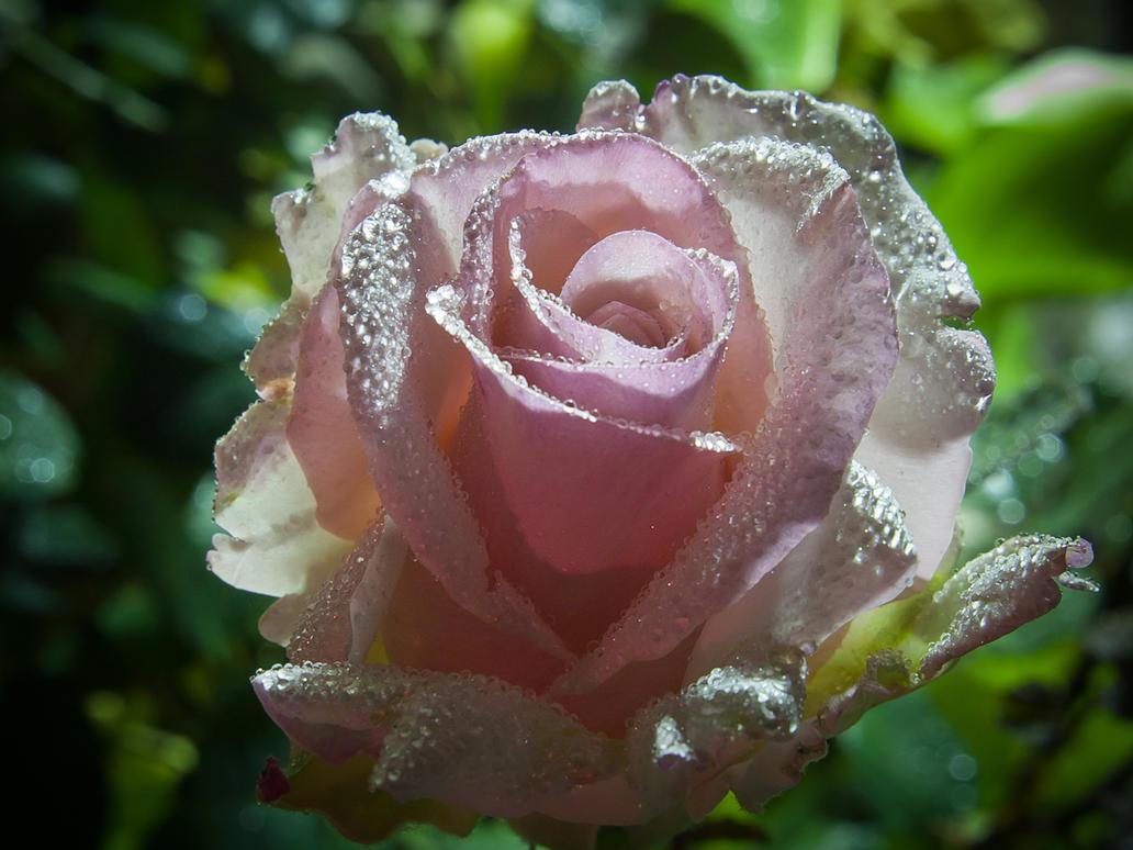 Pink Satin Rose by StevenLeonCooper