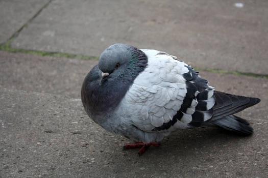 Fat little pigeon