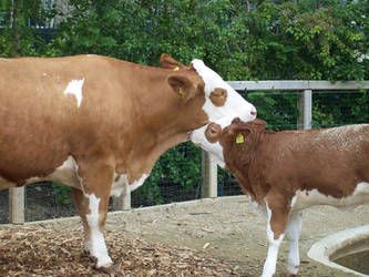 Mother and Baby cow by Jonamack