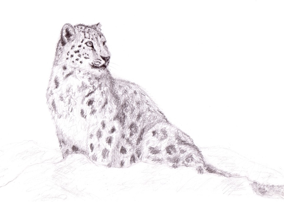 Snow leopard drawing - photo#4