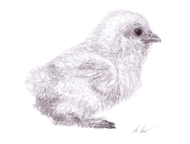 baby chicken by ahillamon on deviantart