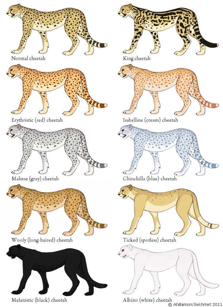 Pour les différents pelages des guépards ? Cheetah_color_mutation_guide_by_ahillamon-d3e3vzq