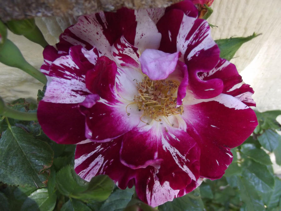 Multi colored rose by jeedaii on deviantart for Multi colored rose bushes