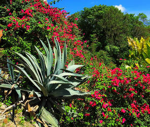 Sugar Bay blooms