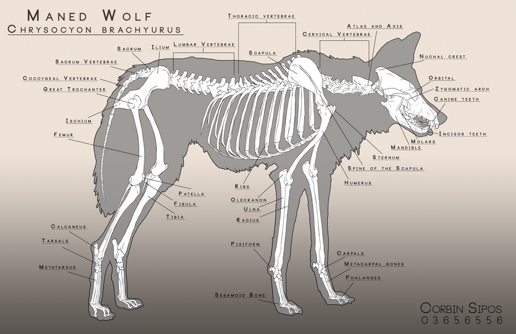 Maned Wolf Anatomy by OhWoahItsMe on DeviantArt