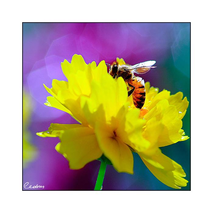 Honeybee by cedrus