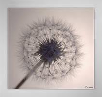 One Last Dandelion Portrait by cedrus