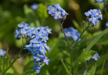 Forget-me-not by CyriaNa117